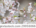 small bird, cherry blossom, flower 29956066
