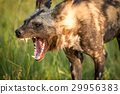 Yawning African wild dog in the Kruger. 29956383