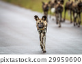 African wild dog walking towards the camera. 29959690