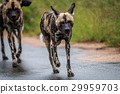 African wild dog walking towards the camera. 29959703