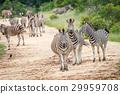 zebra safari black 29959708