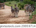 zebra safari black 29959714