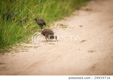 Helmeted guineafowl chick eating. 29959718