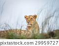 Young male Lion laying on the rocks. 29959727