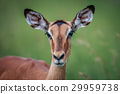 impala animal wildlife 29959738