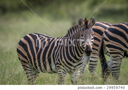 Zebra starring at the camera. 29959740