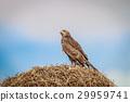 Juvinile Pale-chanting goshawk on a weaver nest. 29959741