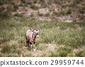 Gemsbok in the grass. 29959744
