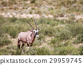 Gemsbok in the grass. 29959745