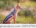 Side profile of a Blacked-backed jackal. 29959769