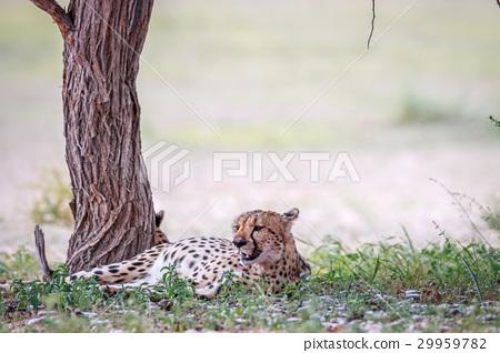 Cheetah resting under a tree. 29959782