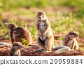 Ground squirrels in the sand. 29959884
