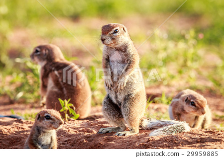 Ground squirrels in the sand. 29959885