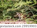 Meerkat observing from under a bush. 29959903