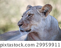 貓 貓咪 獅子 29959911