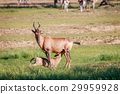 Suckling baby Red hartebeest. 29959928