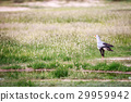Secretary bird in the grass. 29959942