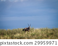Gemsbok on a ridge. 29959971