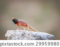 Ground agama basking on a rock. 29959980