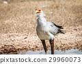 Secretary bird at a waterhole. 29960073
