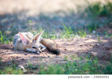 Cape fox laying in the sand. 29960092