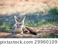 Cape fox laying in the sand. 29960109