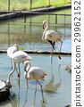 Group of flamingo in zoo 29962152