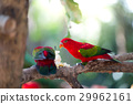 Beautiful red parrot eating fruit 29962161