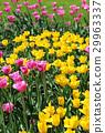 ทิวลิป,ดอกไม้,ฤดูใบไม้ผลิ 29963337