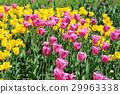 ทิวลิป,ดอกไม้,ฤดูใบไม้ผลิ 29963338