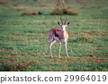 Springbok starring at the camera. 29964019