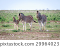 Group of Zebras starring at the camera. 29964023