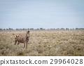 斑馬 野生生物 動物 29964028