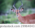黑斑羚 野生生物 動物 29964043