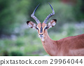 impala wildlife animal 29964044
