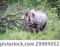 rhino, wildlife, rhinoceros 29964052