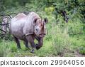 Black rhino starring at the camera. 29964056