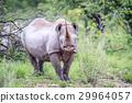 Black rhino starring at the camera. 29964057