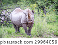 Black rhino starring at the camera. 29964059