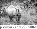 Black rhino starring at the camera. 29964060