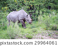Young Black rhino calf walking. 29964061