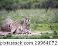 zebra wildlife animal 29964072