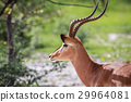 impala wildlife animal 29964081