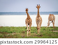 Giraffes walking towards the camera. 29964125
