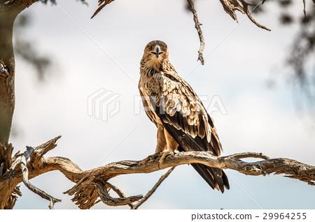 Tawny eagle sitting on a branch. 29964255