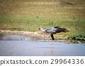 Secretary bird in the water. 29964336
