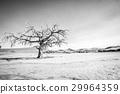 沙漠 蘇絲斯黎 樹木 29964359