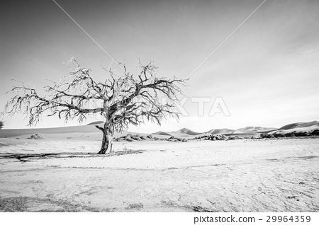 Dead tree in Sossusvlei in black and white. 29964359