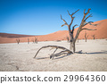 Dead tree in Sossusvlei desert. 29964360