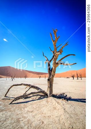 Dead tree in Sossusvlei desert. 29964366